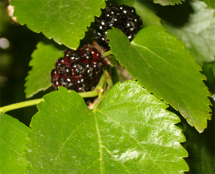 Mulberries: big, black and juicy, just the way I like 'em