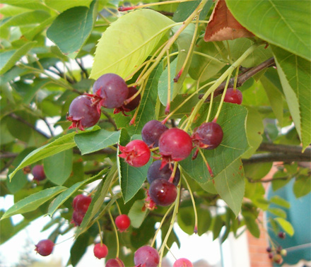 A favourite of robins, serviceberries taste the way they look: like red blueberries